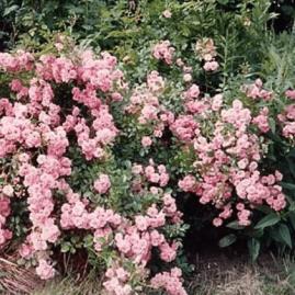 Poliantinės rožės