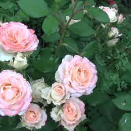 Arbatinės hibridinės rožės