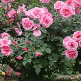 Stiebinės rožės