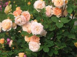 Angliškos rožės.