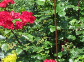 Parko rožės