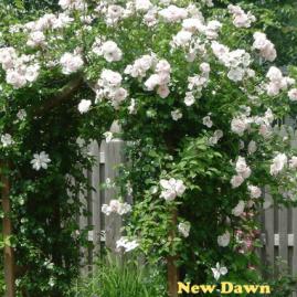 Laipiojančios-vijoklinės rožės