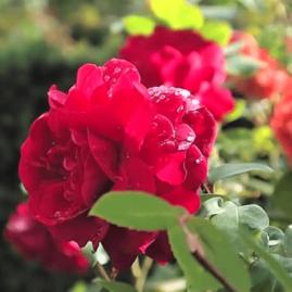 Angliškos rožės
