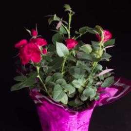 Miniatūrinės rožės