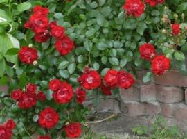 Besidriekiančios rožės