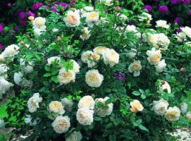 Krūminės rožės