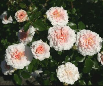 Rožių sodinukai
