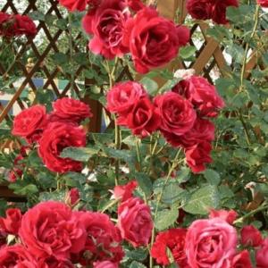 Laipiojančios,vijoklinės rožės