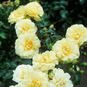.Sunny Rose