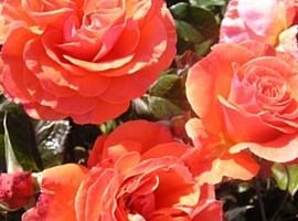 Floribundinės rožės