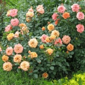 Miniatūrines rožes
