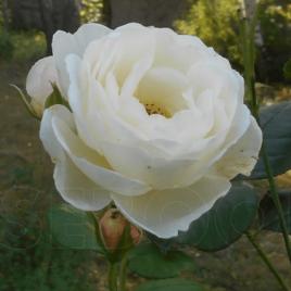 Uetersener Klosterrose