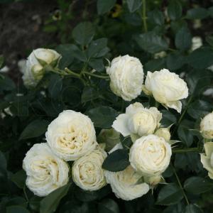 Lemon Rokoko